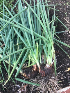 Harvested Shallots | Humming The Snail | Live. Laugh. Eat!